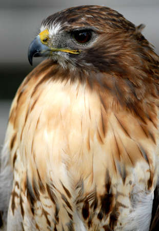 tethered: Photo of tethered Red Tailed Hawk