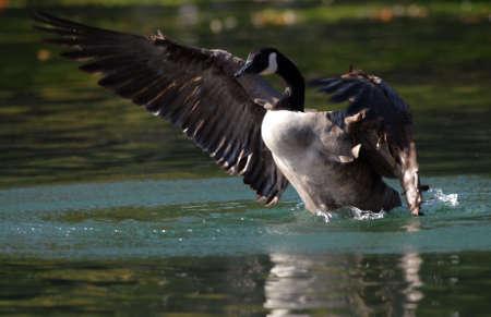 Photo of a Canada Goose at Dufferin Islands in Niagara Falls, ON. Stock Photo