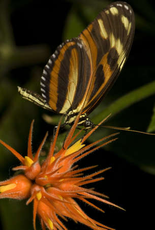 Photo of a Tiger Longwing butterfly, native of SouthCentral America. Part of the Nymphalidae family.