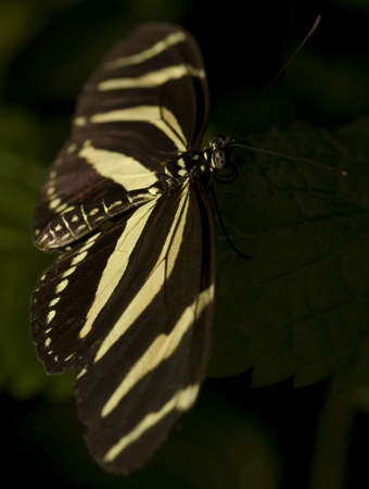 longwing: Photo of a Zebra Longwing butterfly, part of the Nymphalidae family. Common in Southern USA and CentralSouth America. Stock Photo