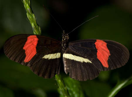 Photo of a Small Postman Butterfly (Heliconious erato). Of the Nymphalidae family, this butterfly is common to MexicoSouth America. Stock Photo