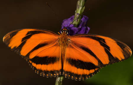 Photo of a Banded Orange Butterfly (Dryadula phaetusa). Common from Brazil to Central Mexico.