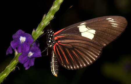 Photo of a Doris Longwing Butterfly (Heliconius doris) of the Nymphalidae family. Common from Mexico to the Amazon Basin.