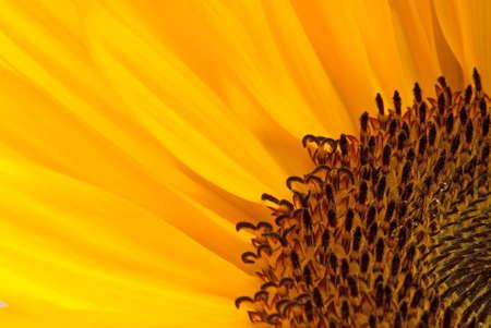 Macro photo of a sunflower, binomial name is Helianthus annuus.