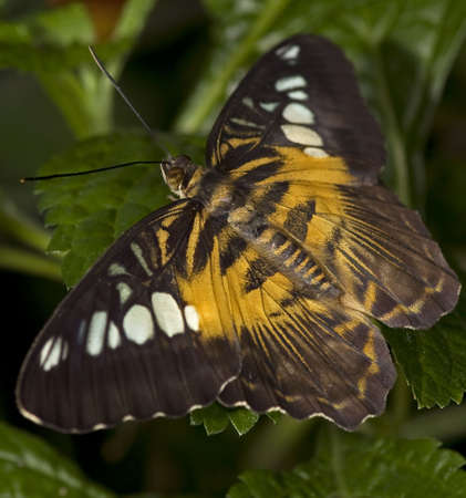 Macro photo of a brown Clipper Butterfly, (nymphalidae family).