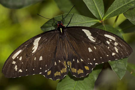 Macro photo of a male Common Mormon butterfly, Papilio polytes, of the Papilionidae family. Stock Photo