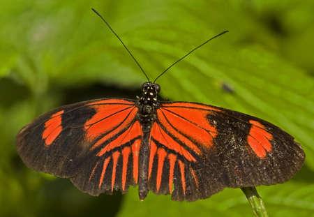 Macro photo of a Postman Butterfly, (Heliconius melpomene).