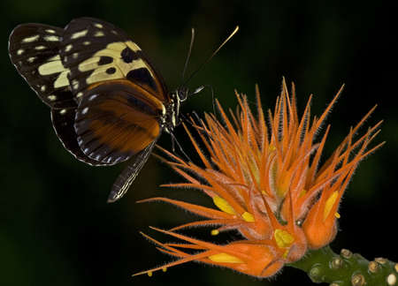 Macro photo of a Tiger Longwing Butterfly, Heliconius hecale.
