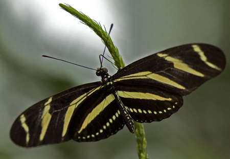 Macro photo of a Zebra Longwing Butterfly, Heliconius charitonius. Stock Photo