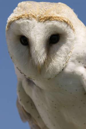 유럽의: Photo of an European Barn Owl