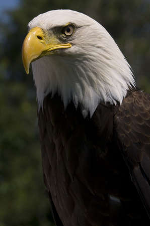 Photo of a North American Bald Eagle
