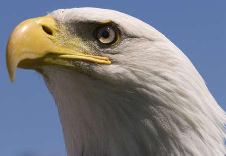 Photo of a North American Bald Eagle