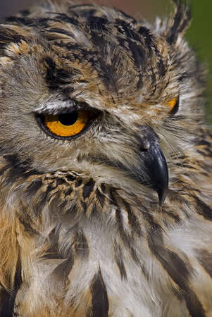 Photo of a Bengal Eagle owl (Bubo bengalensis) also known as a Rock Eagle Owl or Indian Eagle Owl, a large horned owl native to South Asia. Stock Photo