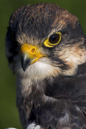 Photo of a Lanner Falcon (Falco biarmicus), a bird of prey native to Africa, southeast Europe and into Asia.