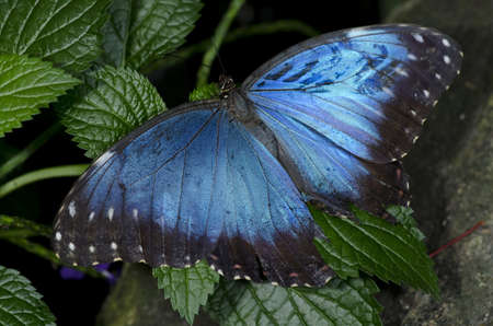 A Common Blue Morpho Butterfly, of the Nymphalidae family, otherwise known as an Owl Butterfly, native to Columbia and Venezuala through Mexico.  Stock Photo