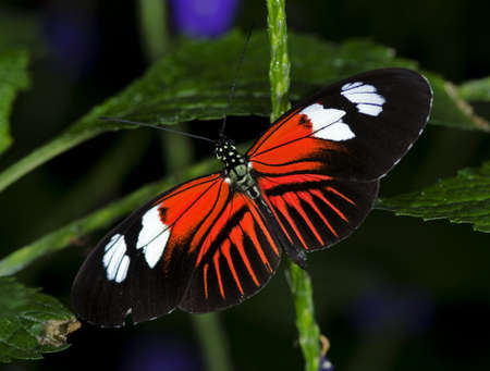 Photo of a Doris Longwing Butterfly, of the Nymphalidae family, ranging from Mexico through the Amazon Basin.  Stock Photo