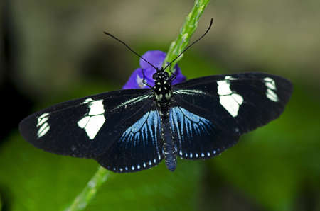A Doris Longwing Butterfly, of the Nymphalidae family, native of the Amazon Basin through Mexico.