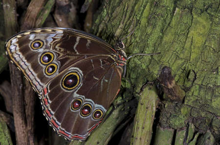 An Owl Butterfly,of the Nymphalidae family, native of South America and Mexico.