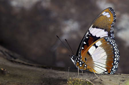 A Plain Tiger Butterfly of the Nymphalidae family, found throughout Malaysia, Africa and Australia.  Stock Photo