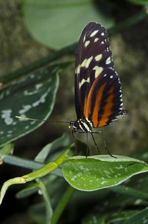 A Tiger Longwing Butterfly of the Nymphalidae family, found from Mexico through the Peruvian Amazon.  Stock Photo