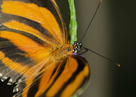 Photo of a Banded Orange Butterfly, Nymphalidae family, common through Brazil to central Mexico