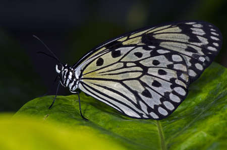 A Rice Paper Butterfly of the Nymphalidae family, found in South East Asia.