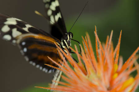 longwing: A Tiger Longwing Butterfly of the  Nymphalidae family. found throughout Mexico and the Peruvian Amazon.