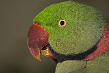 Photo of a male Alexandrine Parakeet found throughout Europe, Asia and Mediterranean countries. Stock Photo