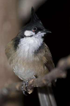 A Red Eared Bulbul found throughout Asia.