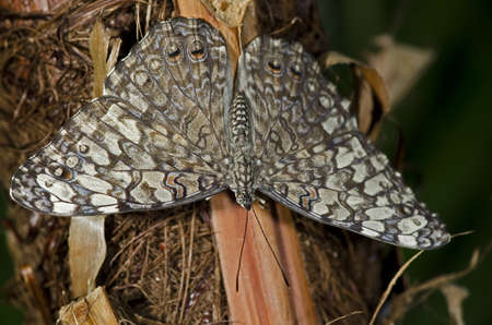 A Gray Cracker Butterfly of the Nymphalidae family. Found in South America to Mexico. Stock Photo