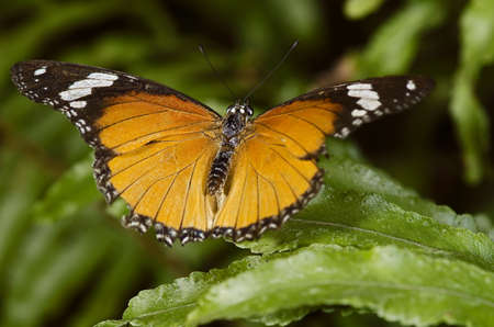 Plain Tiger Butterfly, of the Nymphalidae family. Found throughout Malaysia, Africa and Australia.  Stock Photo