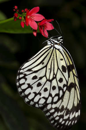 A Rice Paper Butterfly, also called a Large Tree Nymph. Of the Nymphalidae family, this butterfly is found in South East Asia. Stock Photo
