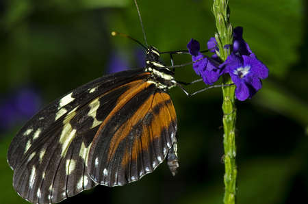 Tiger Longwing Butterfly of the Nymphalidae family. Found through Mexico and the Peruvian Amazon.