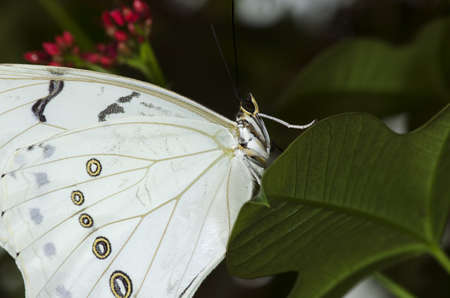 A White Morpho Butterfly, of the Nymphalidae family. Found in Mexico, Central and South America.