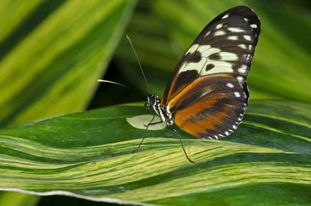longwing: A Tiger Longwing Butterfly (Heliconius hecale) of the Nymphalidae family, ranging in Central and South America.