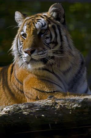 Photo of a (Royal) Bengal Tiger (Panthera tigris tigris) in captivity. Stock Photo