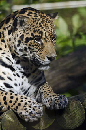 Photo of a Jaguar (Panthera onca)  in captivity. Stock Photo
