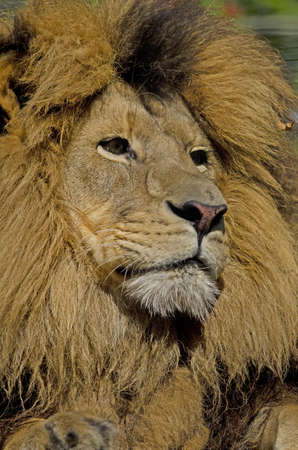 Photo of a Lion (Panthera leo) in captivity. Stock Photo