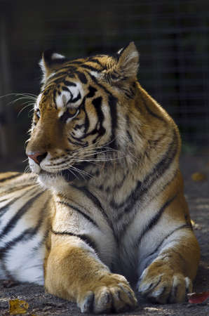 Portrait photo of a Siberian Tiger (Panthera tigris altaica),  in captivity.