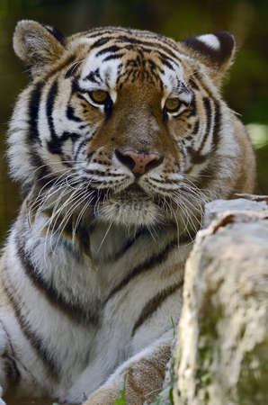 Photo of a Siberian Tiger (Panthera tigris altaica),  in captivity.