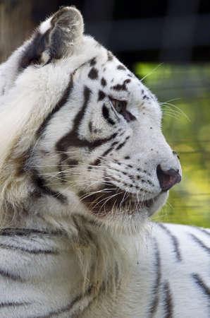 Photo of a White Bengal Tiger (Panthera tigris tigris) in captivity. Stock Photo
