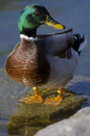 web footed: Photo of a Male Drake Mallard Duck at the pond
