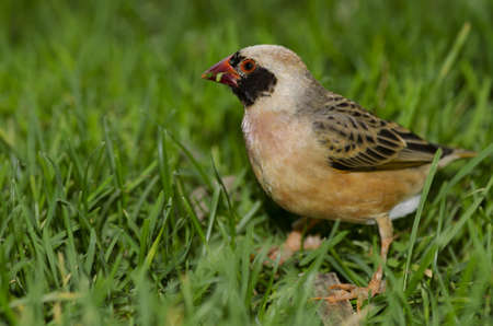 A Red Billed Quelea, native to sub-Saharan Africa. Stock Photo