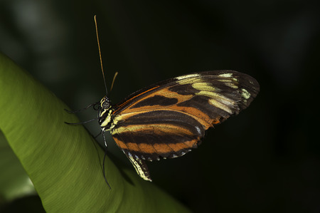 A Tiger Longwing,  Golden Helicon , Heliconius hecale, butterfly of the family Nymphalidae  Stock Photo