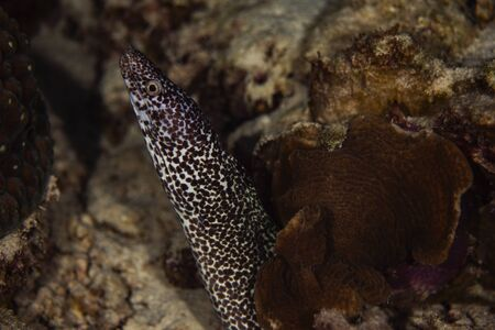 A spotted moray eel hanging out on the reef in Bonaire, Netherlands.