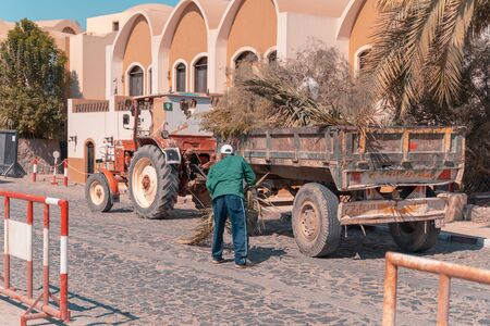 A Man worker collect palm and put in to a tractor in Egypt, El Gouna,