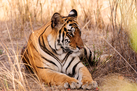 tiger: A relaxed tiger in Kanha Stock Photo