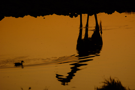 pozo de agua: reflejo de una jirafa en una charca de Etosha
