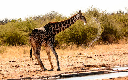 spilling: A messy Drinker -a giraffe raising its head and spilling water from its mouth