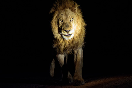 prowling: male Lion on patrol at night Stock Photo